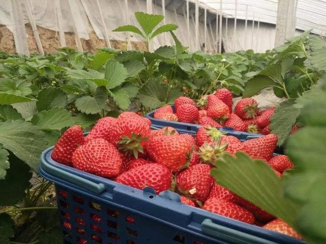平顶山周边这座山太率性,假期还能摘草莓,前100名免费送!插图3