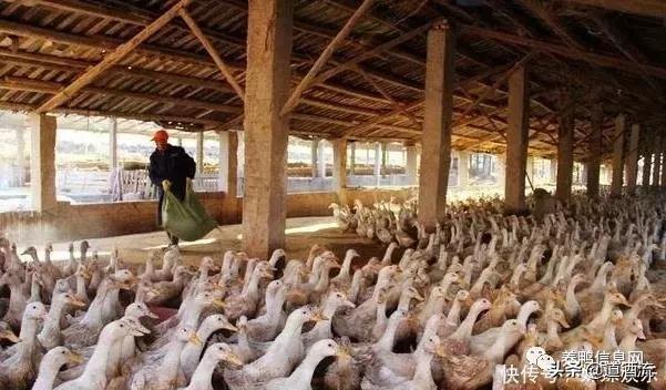 不知道怎么养好鸭学会这几项养鸭技